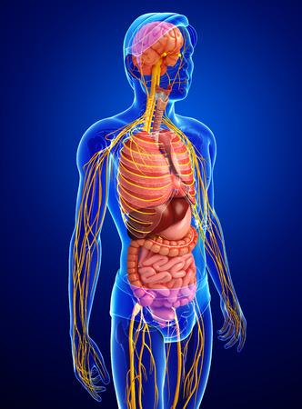 Darstellung Von Männlichen Körper Mit Nerven- Und Verdauungssystem ...