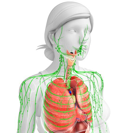 thymus: Illustration of Female body lymphatic and digestive system artwork Stock Photo