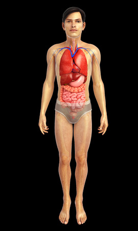 anatomie humaine: 3d illustration rendu d'oeuvre du syst�me digestif