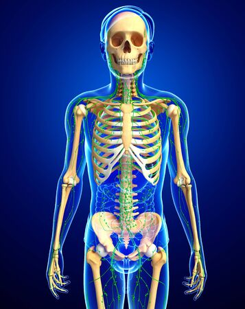 thymus: Illustration of Male skeleton with lymphatic system