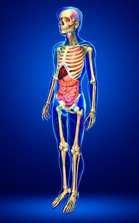 lymphocytes: Illustration of Male body lymphatic, skeletal and digestive system artwork Stock Photo
