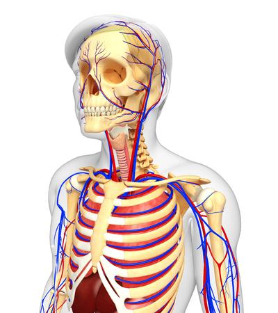 anatomy skeletal: Illustration of male skeletal and circulatory system