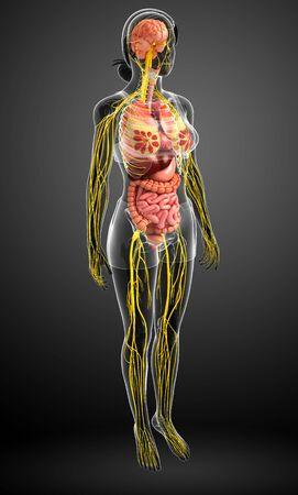 anatomia humana: Ilustración del cuerpo de la mujer con las ilustraciones sistema nervioso y digestivo
