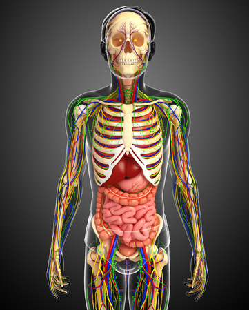 guts: illustration of Lymphatic, skeletal, nervous and circulatory system of male
