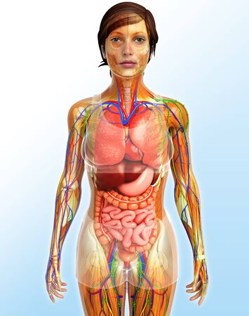 skeletal: illustration of Lymphatic, skeletal, nervous and circulatory system of female
