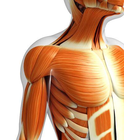 anatomia humana: 3d rindió la ilustración de la anatomía masculina músculos Foto de archivo