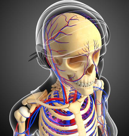 girdle: Illustration of female skeletal circulatory system
