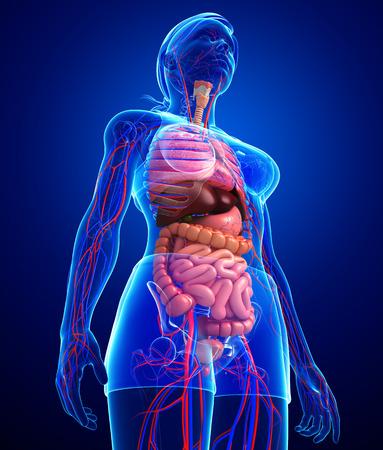 capillary: Digestive and circulatory system of female body artwork