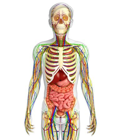 esophagus: illustration of Lymphatic, skeletal, nervous and circulatory system of male
