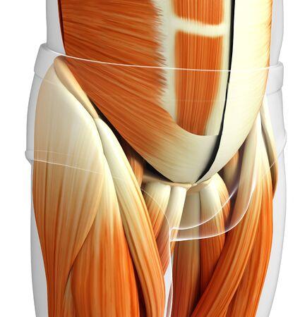 pelvic: 3d rendered illustration of male pelvic muscles anatomy Stock Photo