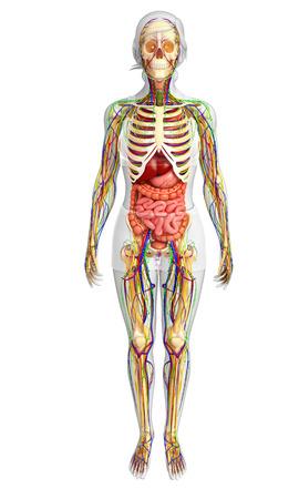 ureter: illustration of Lymphatic, skeletal, nervous and circulatory system of female