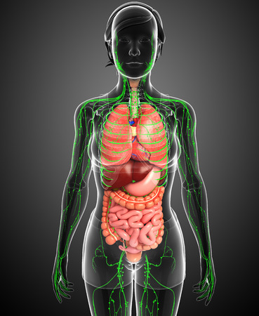 lymphatic: Illustration of Female body lymphatic and digestive system artwork Stock Photo