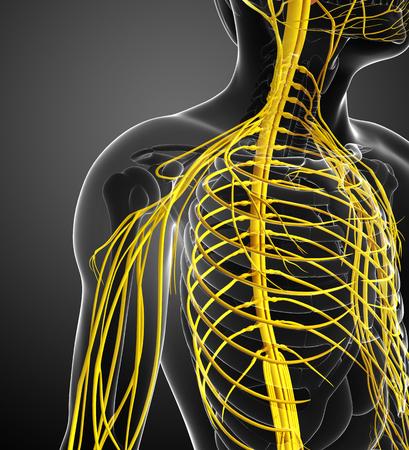 sistema nervioso: Ilustraci�n de hombro masculino obra del sistema nervioso
