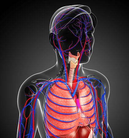 Illustration of male respiratory and circulatory system