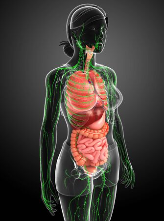 lymphocytes: Illustration of Female body lymphatic and digestive system artwork Stock Photo