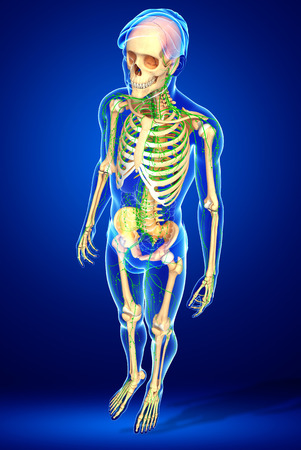 lymphocytes: Illustration of Male skeleton with lymphatic system