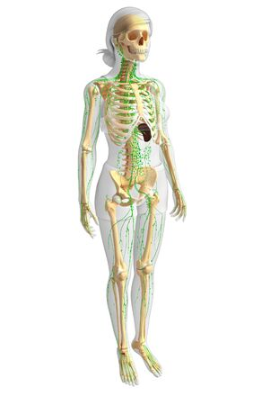 body fluid: Illustration of Female skeleton with lymphatic system Stock Photo