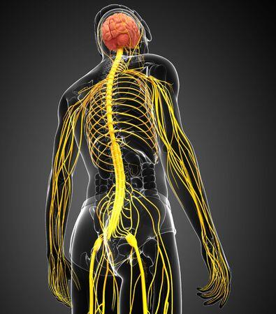 sistema nervioso central: Ilustración de obra masculina sistema nervioso Foto de archivo