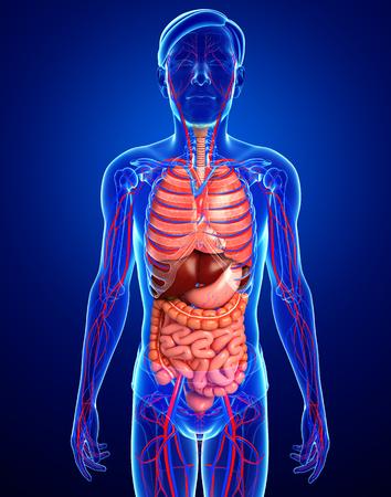 circulatory: Digestive and circulatory system of male body artwork