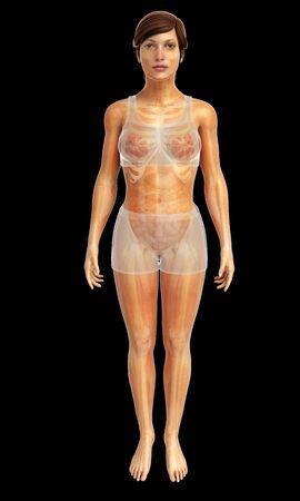 cuerpo femenino: 3d rindi� la ilustraci�n de la anatom�a femenina cuerpo
