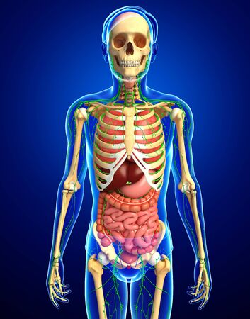 skeletal system: Illustration of Male body lymphatic, skeletal and digestive system artwork Stock Photo