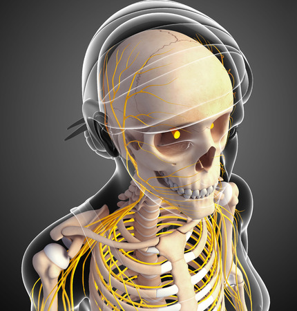ribcage: Illustration of  female head skeleton with nervous system