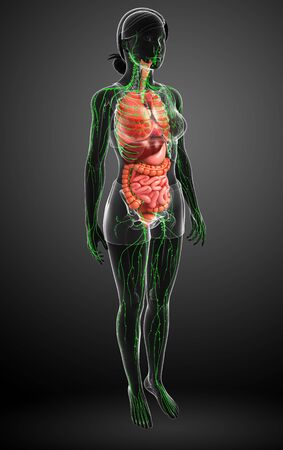 thoracic: Illustration of Female body lymphatic and digestive system artwork Stock Photo