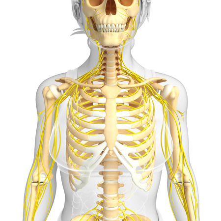 ribcage: Illustration of female ribcage with nervous system