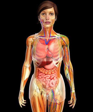 lymph vessels: illustration of Lymphatic, skeletal, nervous and circulatory system of female