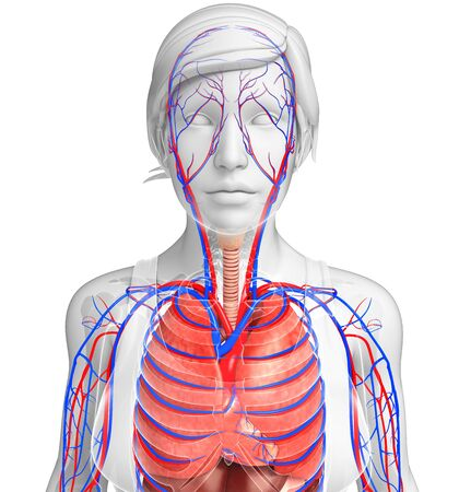 pleura: Illustration of female respiratory and circulatory system