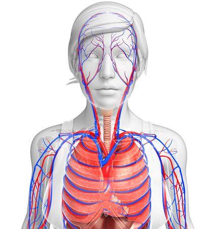 alveolos: Ilustración del sistema circulatorio y respiratorio femenina