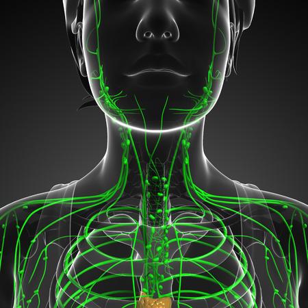 cuerpo femenino: Illustration of female body lymphatic system