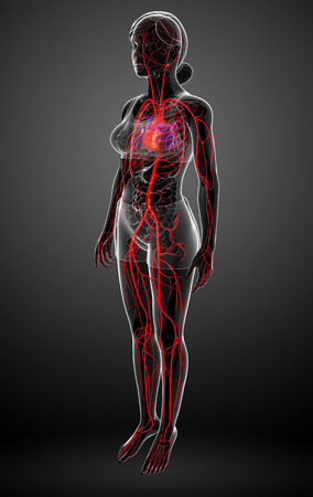 pulmonary trunk: 3d rendered illustration of female arterial system Stock Photo