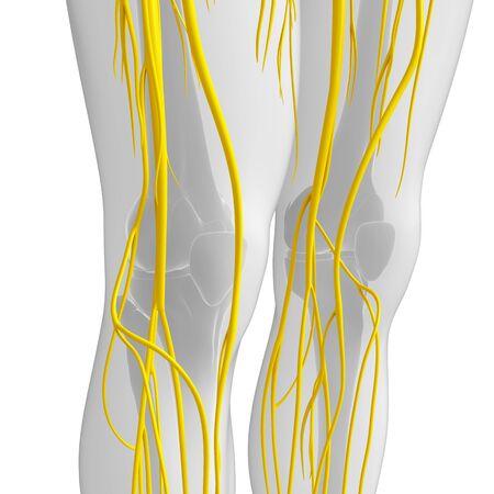human nervous system: Illustration of human nervous system