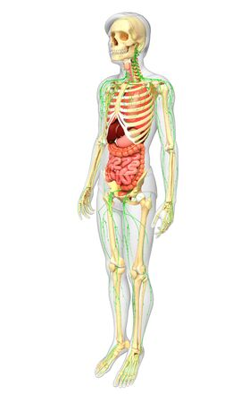 lymphatic: Illustration of Male body lymphatic, skeletal and digestive system artwork Stock Photo