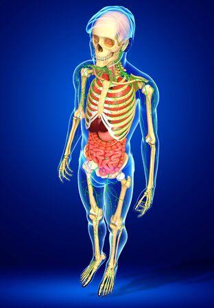 sistema digestivo: Illustration of Male body lymphatic, skeletal and digestive system artwork Foto de archivo