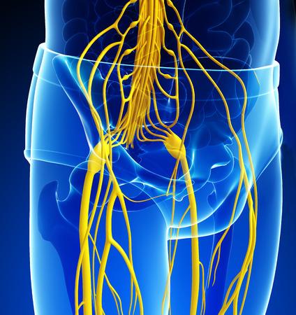 pelvic: Illustration of Male pelvic girdle nervous system artwork Stock Photo