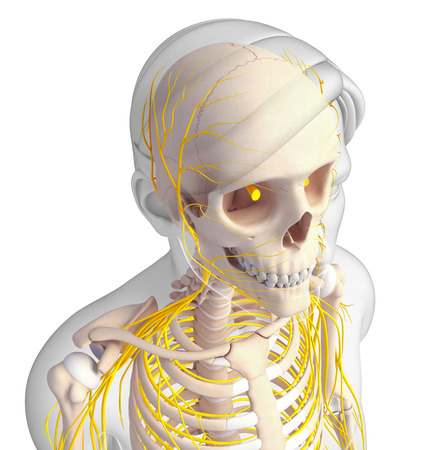 ribcage: Illustration of male head skeleton with nervous system
