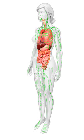 Illustration of Female body lymphatic and digestive system artwork Stock Photo
