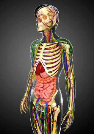 lymphatic: illustration of Lymphatic, skeletal, nervous and circulatory system of male
