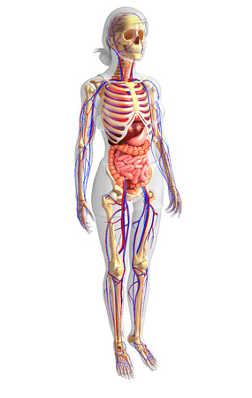 girdle: Illustration of Female skeletal, digestive and circulatory system