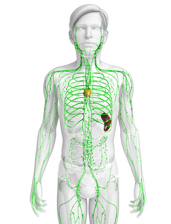 lymph nodes: Illustration of male body lymphatic system