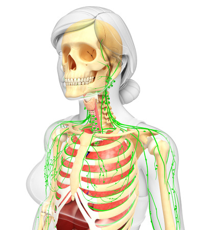 lymph vessels: Illustration of Female body lymphatic, skeletal and respiratory system artwork