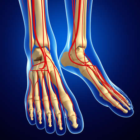 anatomy leg: 3d rendered illustration of leg anatomy