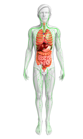 body fluid: Illustration of Male body lymphatic and digestive system artwork Stock Photo