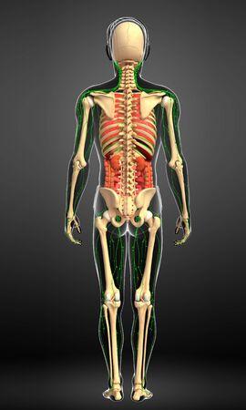 sistema digestivo: Ilustraci�n de linf�tico del cuerpo masculino, esquel�tico y obra aparato digestivo Foto de archivo