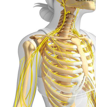 Illustration Der Männlichen Brustkorb Mit Nervensystems Lizenzfreie ...