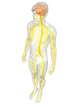Illustratie van Male zenuwstelsel kunstwerk