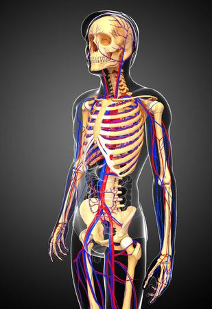 girdle: Illustration of male skeletal circulatory system