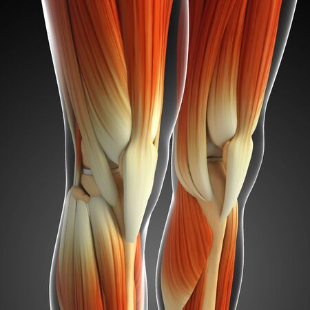 keen: 3d rendered illustration of keen muscles anatomy